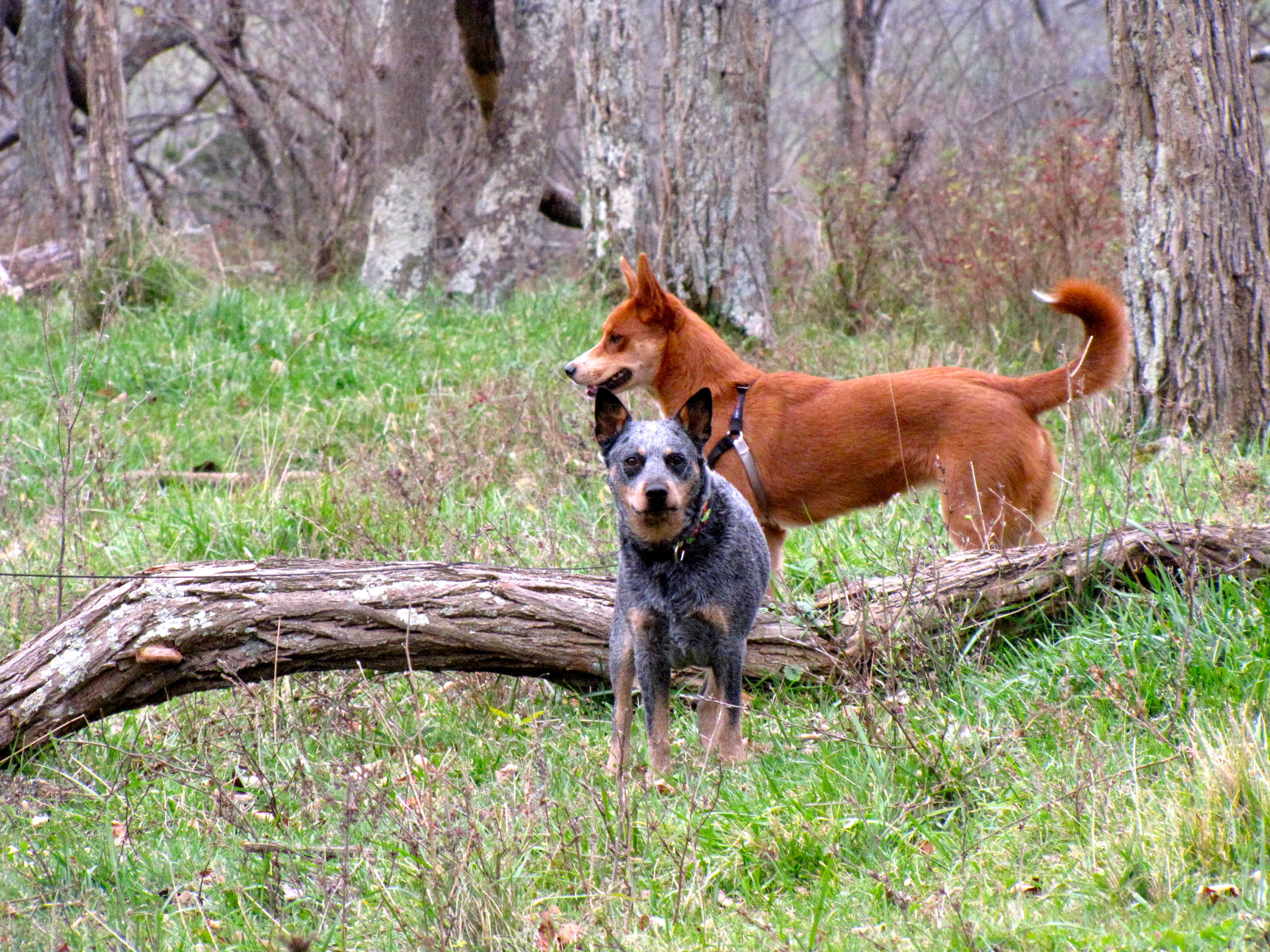Pepper and Foxy ~ November 10, 2012   DogPerDay